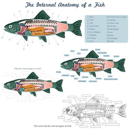 Anatomy of a fish. Fish internal organs.