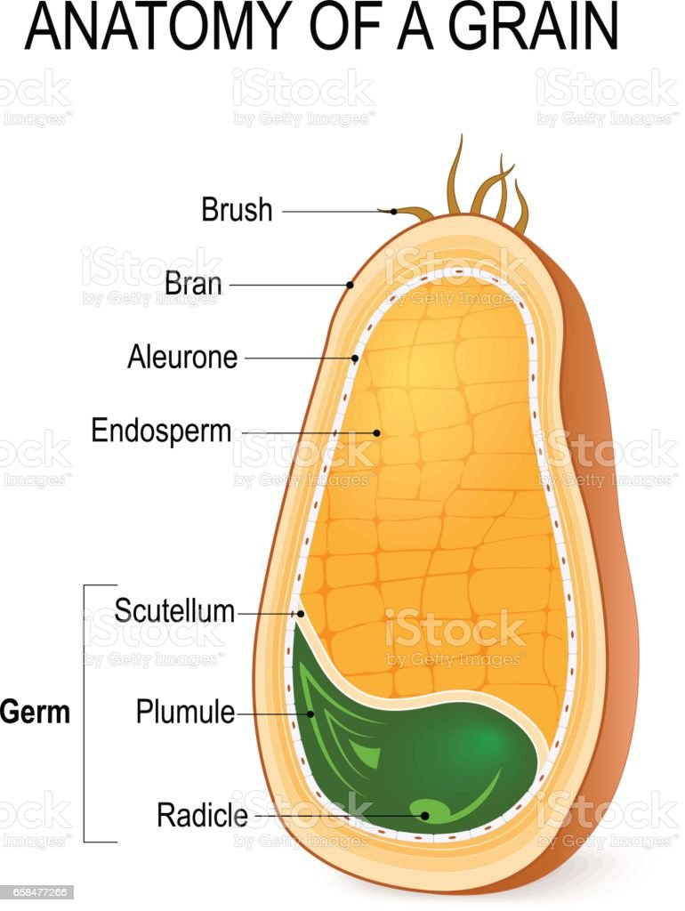 Anatomy of a grain. inside the seed. vector art illustration
