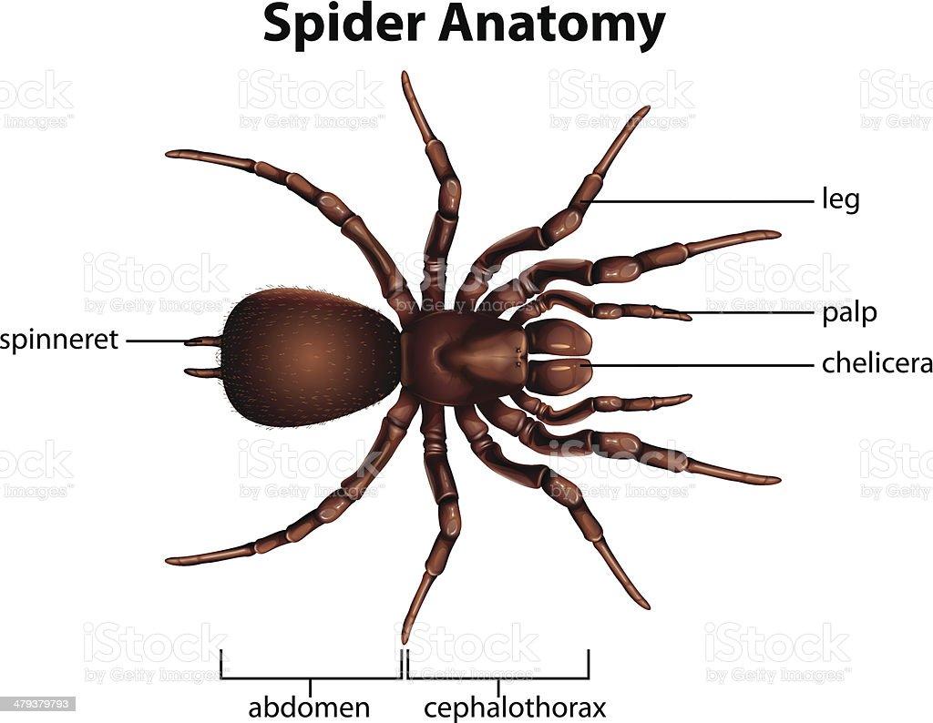 Ilustración de Anatomía De Una Araña y más banco de imágenes de ...