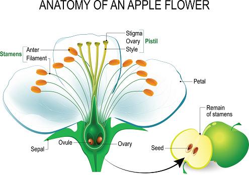 Anatomy of an apple flower