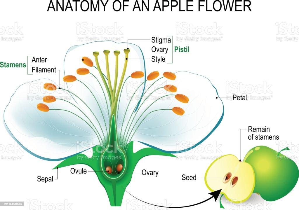 Anatomy of an apple flower vector art illustration