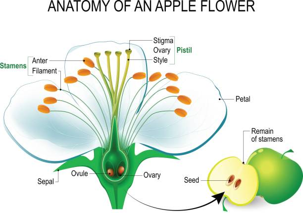 Anatomy of an apple flower Anatomy of an apple flower. Flower Parts. Detailed Diagram with cross section. useful for study botany and science education. Flower and fruit flower part stock illustrations