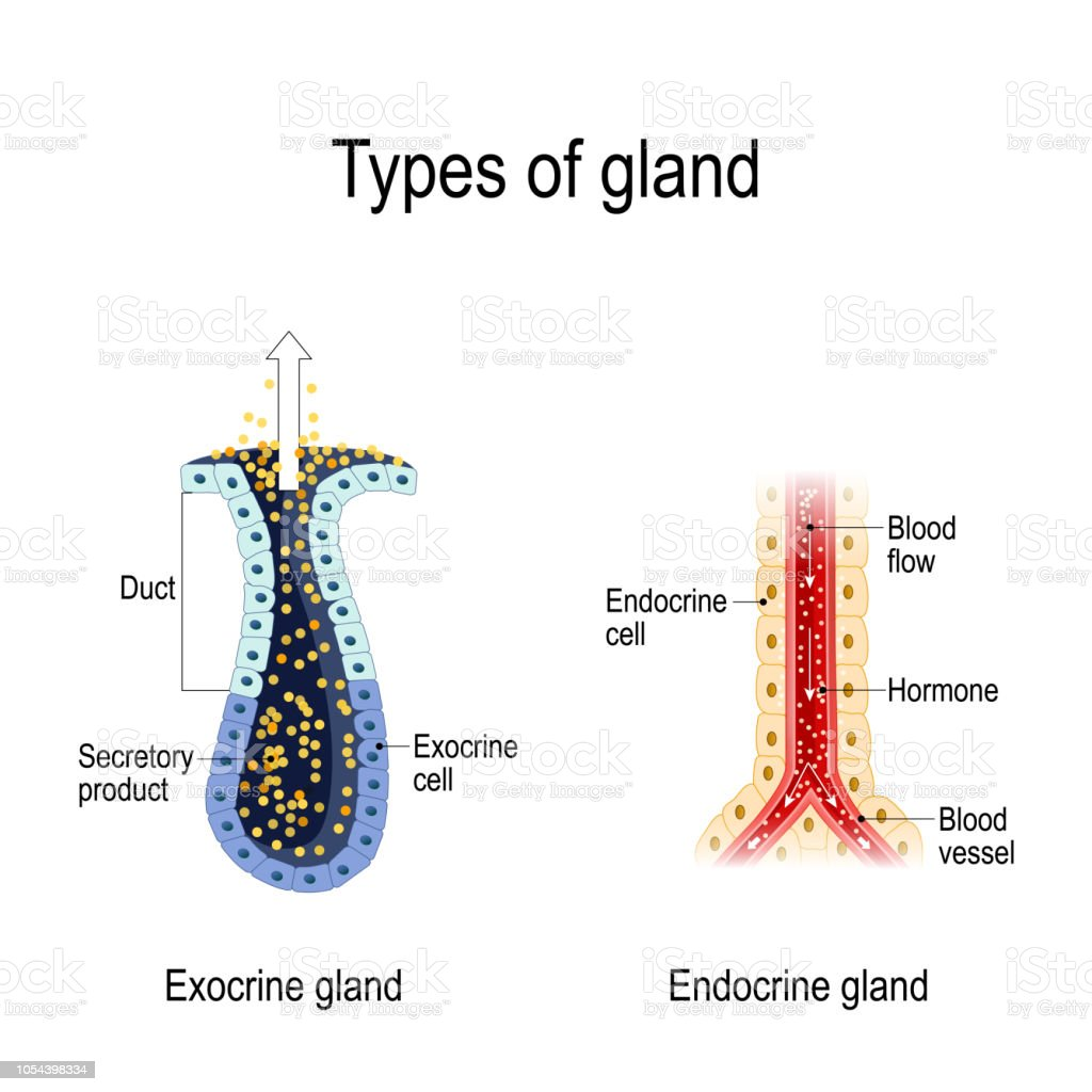 Anatomy Of An Endocrine And Exocrine Glands Stock ...