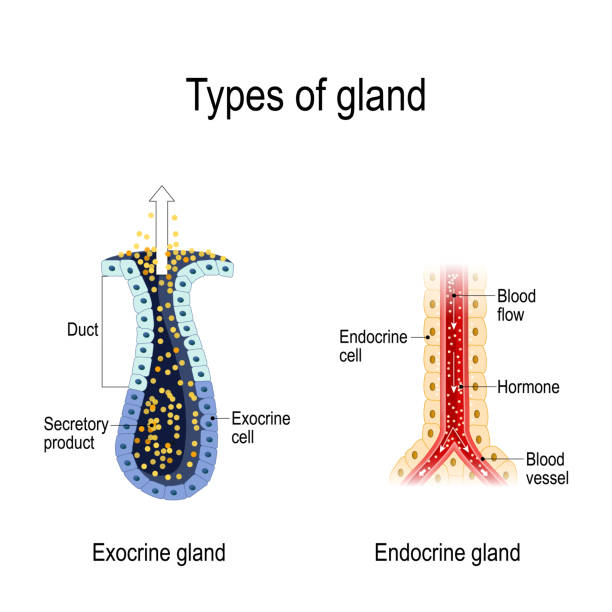 Anatomy of an Endocrine and exocrine glands. Types of gland. Anatomy of an Endocrine and exocrine glands. different of glands secretion. cross-section. Vector diagram for educational, medical, biological and science use human gland stock illustrations