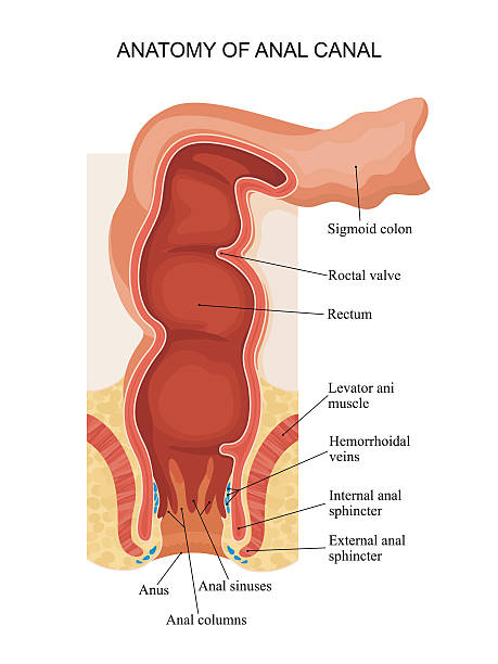 Royalty Free Anus Clip Art Vector Images Illustrations Istock