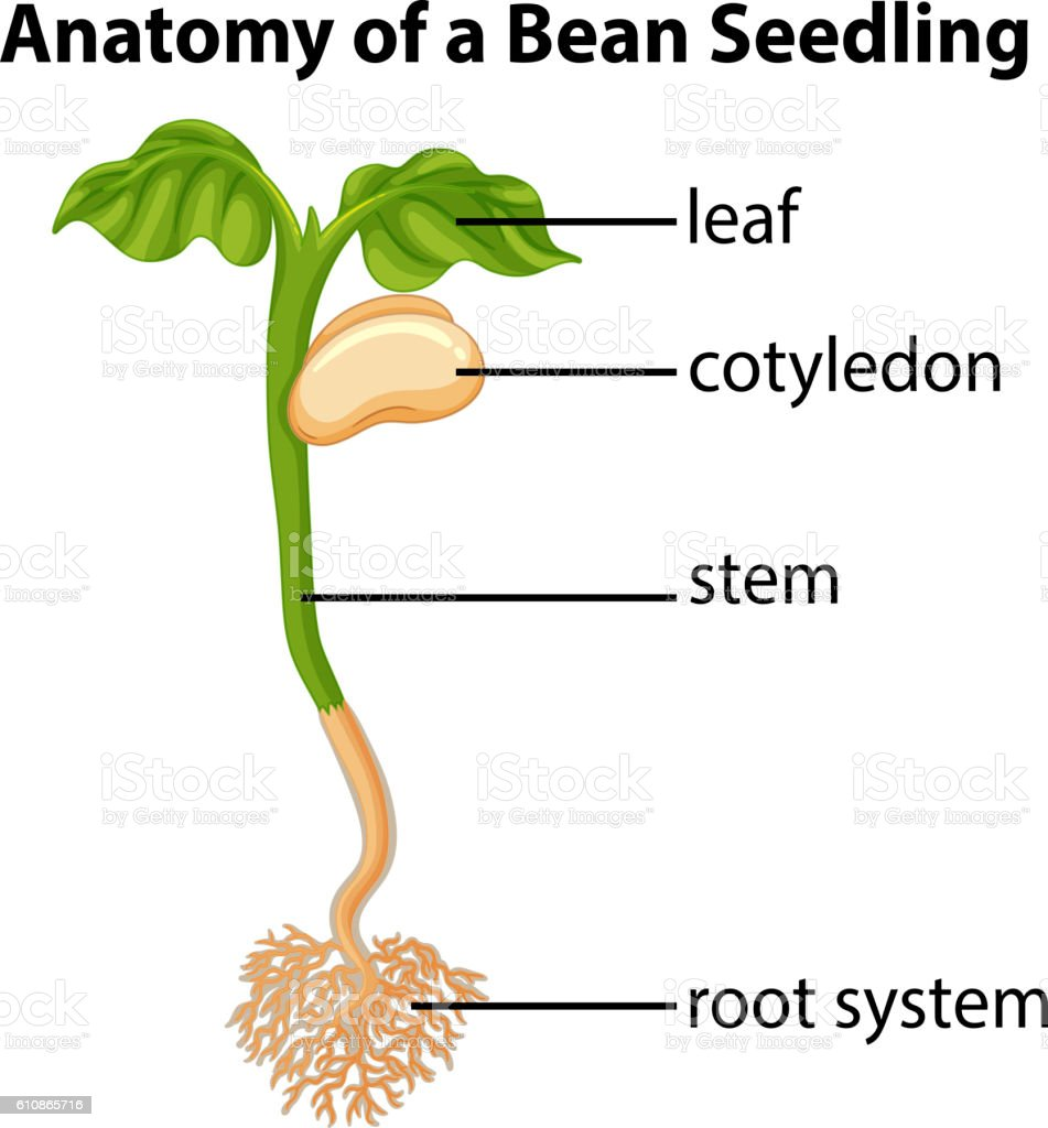 Anatomy Of Bean Seedling On Chart Stock Vector Art More Images Of