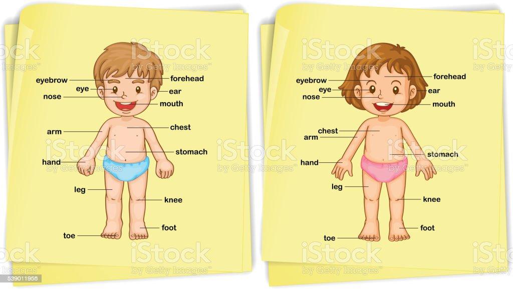 Ilustración de Anatomía De Niño Y Niña y más banco de imágenes de ...