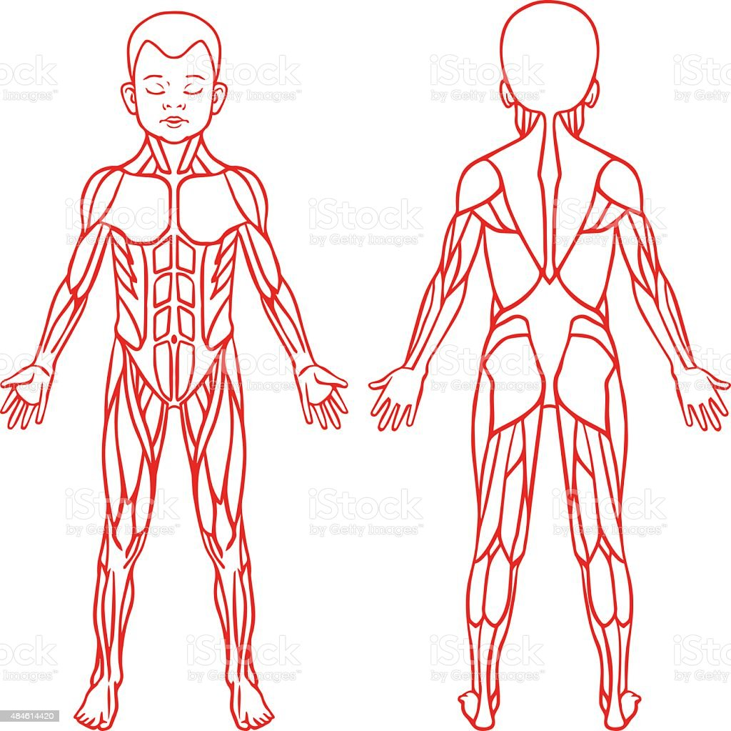 Anatomy Of Children Muscular System Exercise And Muscle Guide Stock
