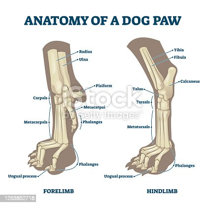Anatomy of dog paws with forelimb and hindlimb bones vector illustration. Educational labeled skeleton comparison with zoological inside structure scheme. Animal legs inner closeup examination model.