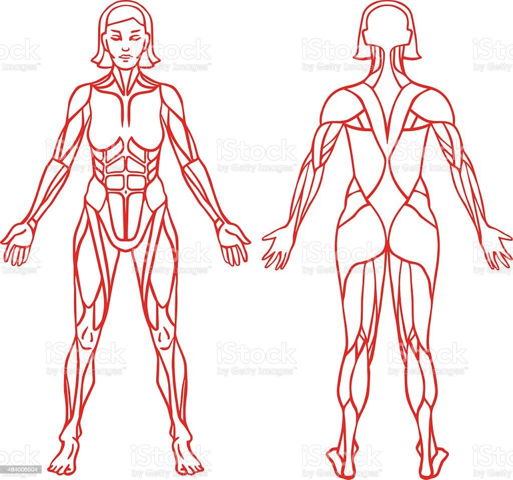 Ilustración de Anatomía Del Sistema Muscular Hembra Ejercicio Y El ...