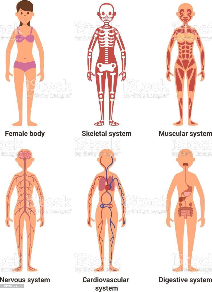 Ilustración de Anatomía De La Mujer Ilustración De Vector De ...