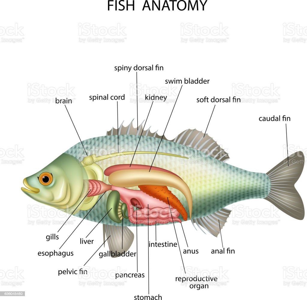 Anatomy Of Fish Stock Vector Art & More Images of Anatomy 636045460 ...
