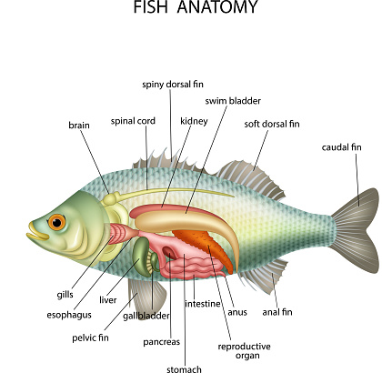 Download Fish Anatomy Clipart Vector In Ai Svg Eps Or Psd