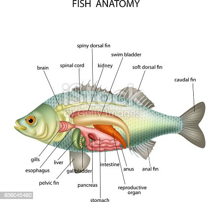 Anatomy Of Fish Stock Vector Art & More Images of Anatomy ...