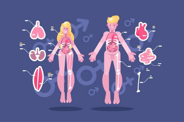 anatomie des menschlichen körpers flach infografik - keks grafiken stock-grafiken, -clipart, -cartoons und -symbole