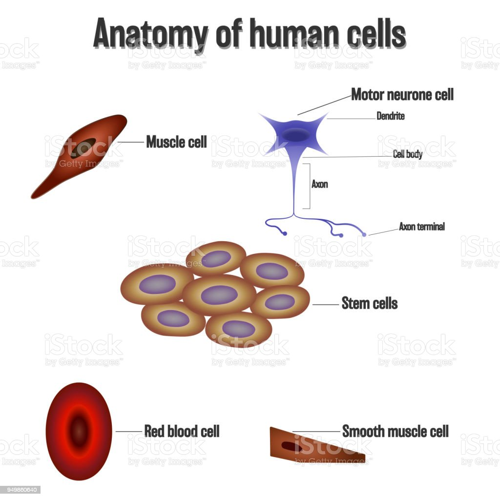 Anatomy Of Human Cells Isolated On White Background As Health Care