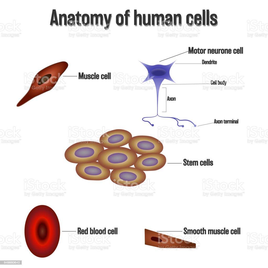 Anatomie Der Menschlichen Zellen Isoliert Auf Weißem Hintergrund Als ...