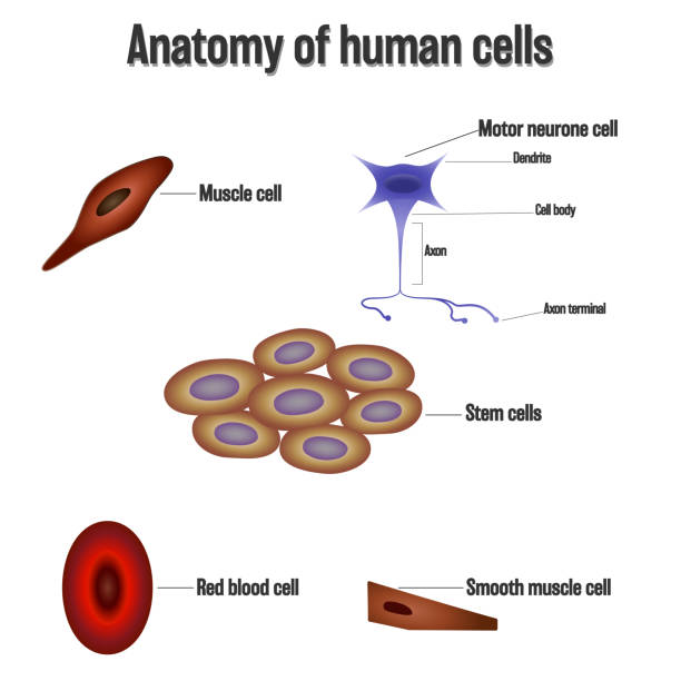 Anatomy of human cells isolated on white background as Health care and science concept. vector illustration. Anatomy of human cells isolated on white background as Health care and science concept. vector illustration. bone marrow tissue stock illustrations