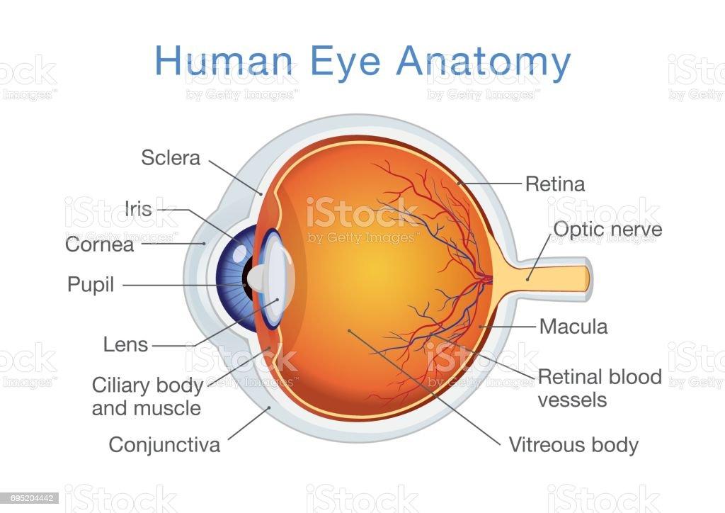 Ilustración de Anatomía Del Ojo Humano Y Descripciones y más banco ...
