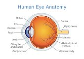 Anatomy of human eye and descriptions.