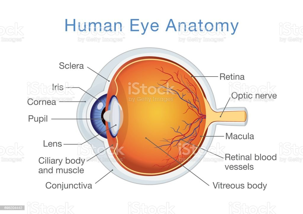 Anatomy of human eye and descriptions. vector art illustration