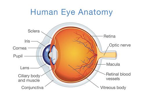 Anatomy Of Human Eye And Descriptions — стоковая векторная графика и другие изображения на тему Анатомия