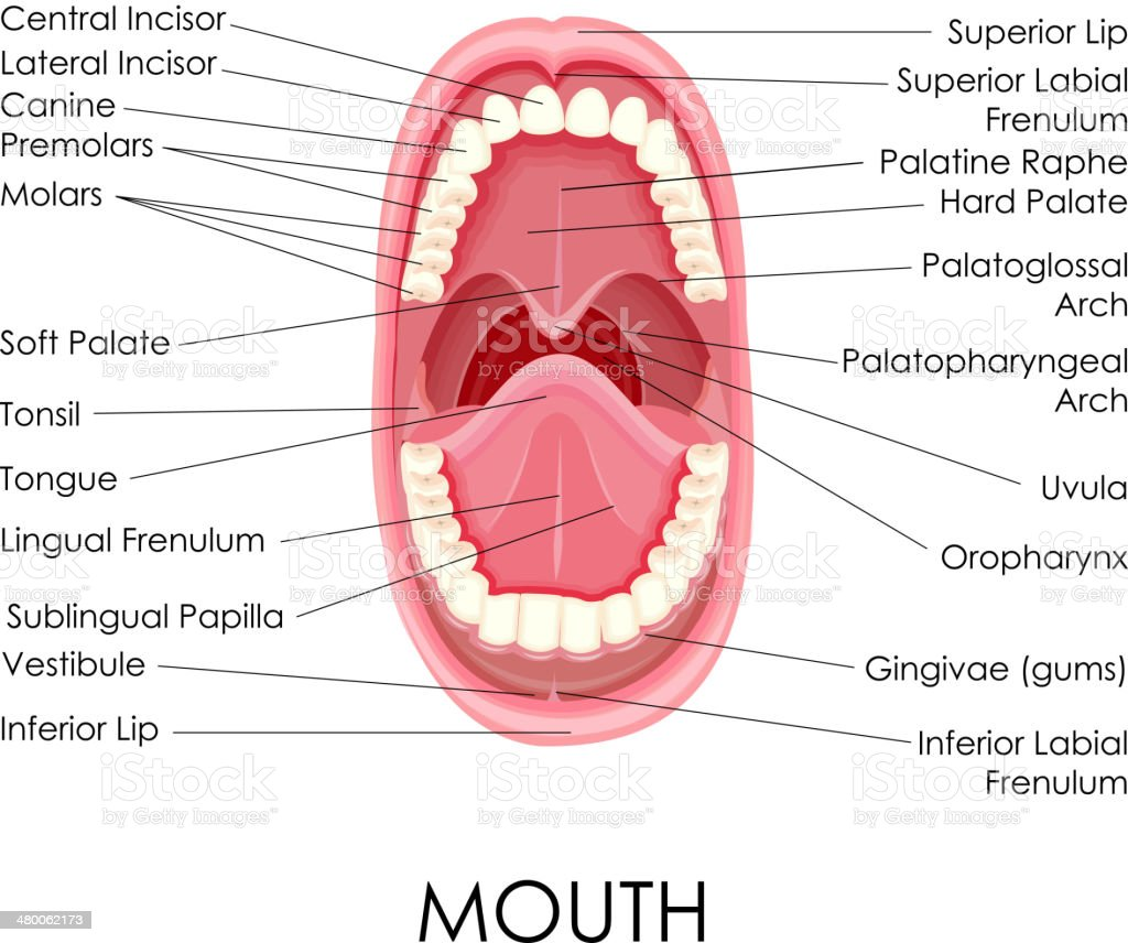 Anatomy of Human Mouth vector art illustration