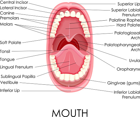 Anatomy Of Human Mouth Stock Illustration - Download Image Now - iStock
