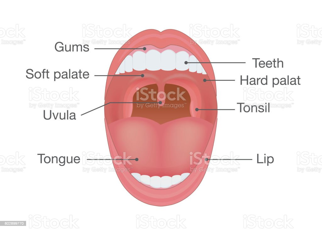 Anatomy of Human Mouth. vector art illustration