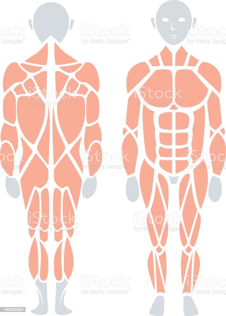 Anatomy Of Human Muscle In Back And Front Vector Infographic Element ...