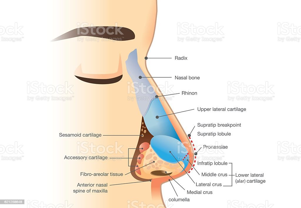 Anatomy of human nose vector art illustration