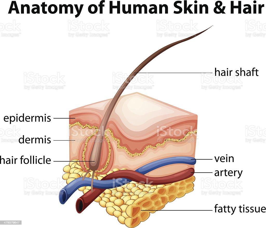 Anatomie Der Menschlichen Haut Und Haar Stock Vektor Art und mehr ...