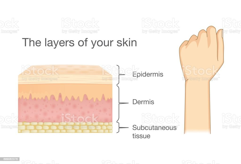 Anatomy Of Human Skin Layer And Arm Stock Vector Art More Images