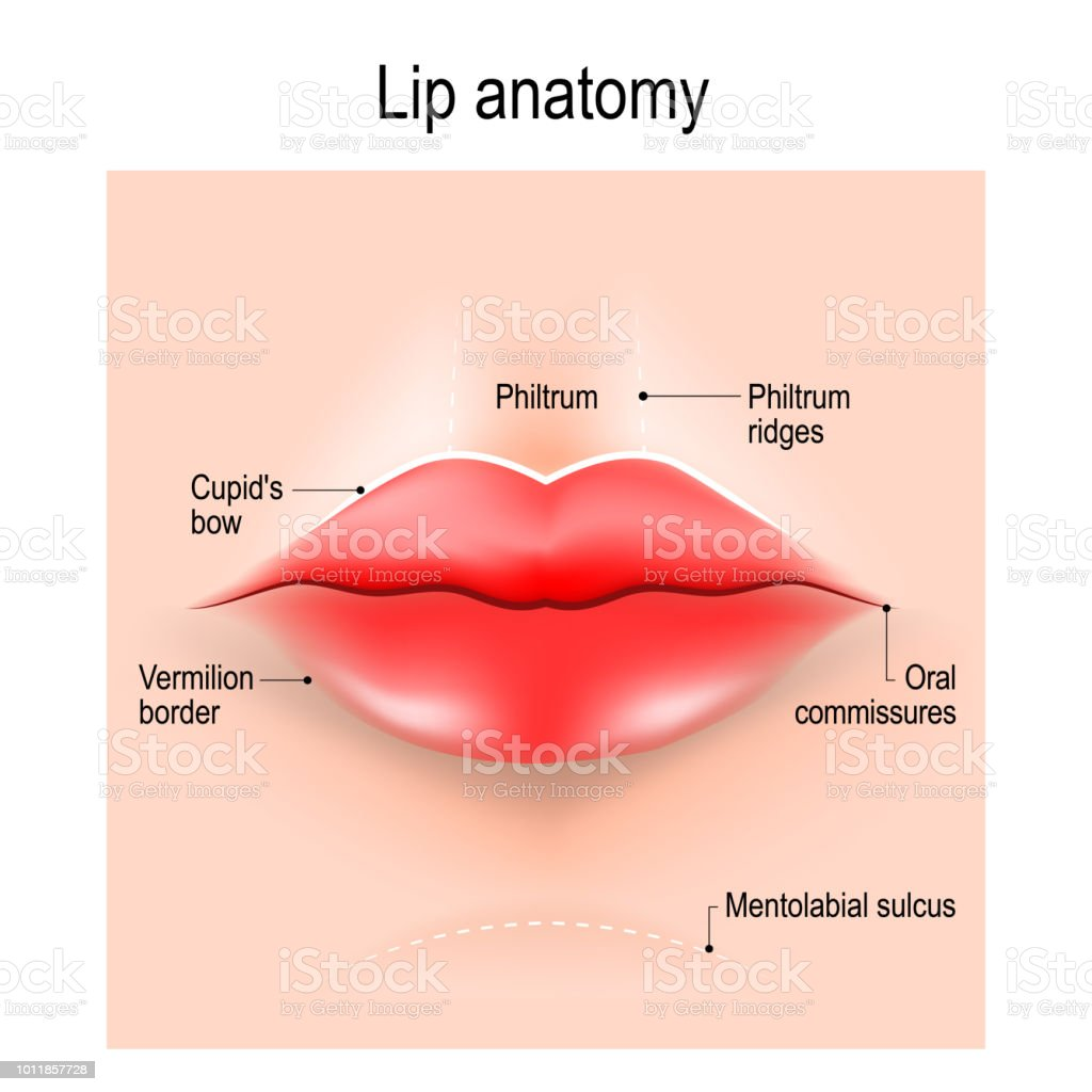 Anatomy Of Lips Stock Vector Art & More Images of Aging Process ...
