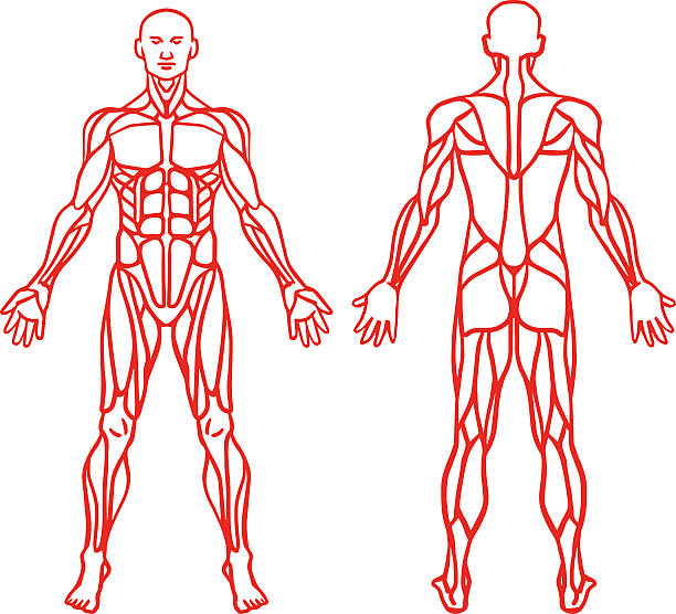 Anatomy of male muscular system, exercise and muscle guide. Anatomy of male muscular system, exercise and muscle guide. Human muscles vector art, front view, back view. Vector illustration human muscle stock illustrations