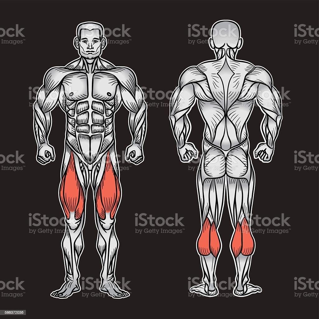 Ilustración de Anatomía Del Sistema Muscular Masculino Ejercicio Y ...