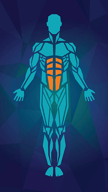 Anatomy of male muscular system. FRONT view Polygonal anatomy of male muscular system, exercise and muscle guide. Human muscle vector art, front view. Vector illustration human muscle stock illustrations