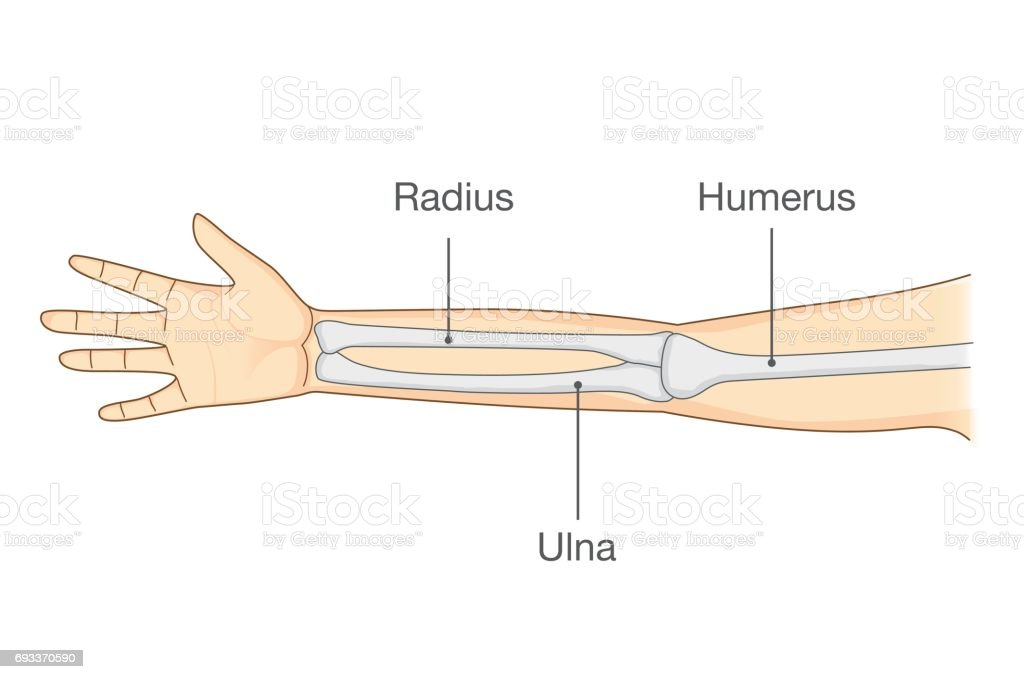 Anatomy of normal human arm bone. vector art illustration