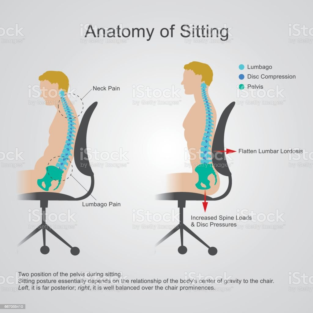 Anatomy of sitting. vector art illustration