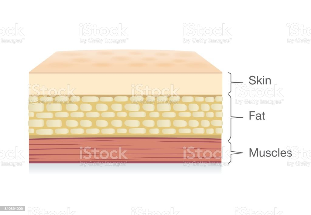 Anatomy of Skin layer, fat cell and muscle layer in vector style. vector art illustration