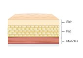 Anatomy of Skin layer, fat cell and muscle layer in vector style.