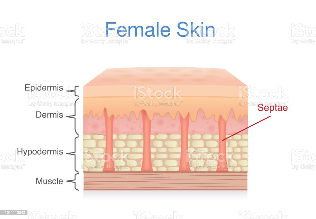 Anatomy Of Skin Layer Of Female Stock Vector Art More Images Of