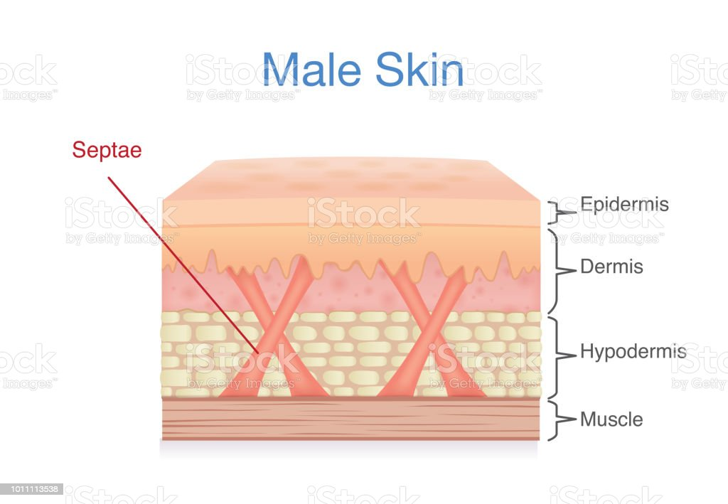 Anatomy Of Skin Layer Of Male Stock Vector Art More Images Of