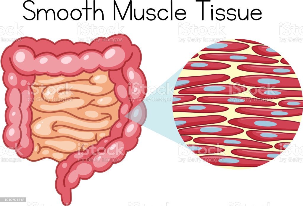 Anatomy Of Smooth Muscle Tissue Stock Vector Art More Images Of