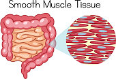 Anatomy of Smooth Muscle Tissue