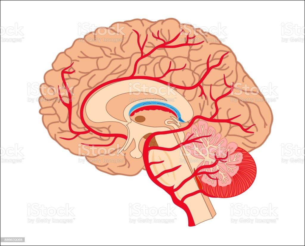 Ilustración de Anatomía Del Cerebro y más banco de imágenes de ...