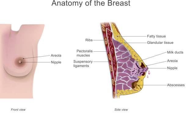 anatomy of the breast The breast is one of two prominences located on the upper ventral region of the torso of primates in females, it serves as the mammary gland, which produces and secretes milk to feed infants both females and males develop breasts from the.