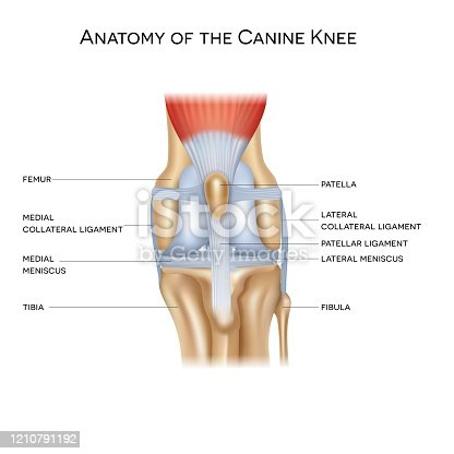 Anatomy of the canine (dog's) knee joint colorful design, healthy joint info poster illustration