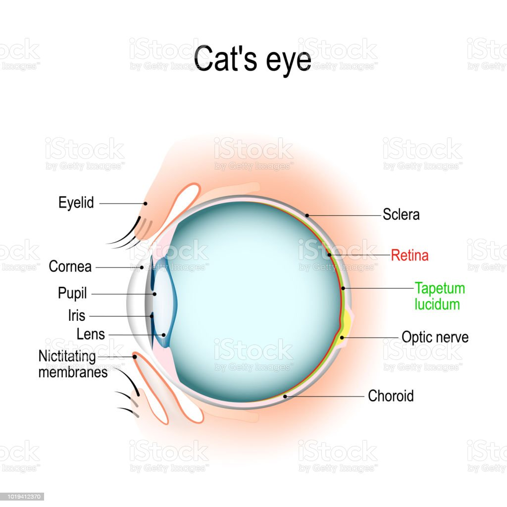Anatomy Of The Cats Or Dogs Eye Stock Vector Art & More Images of ...