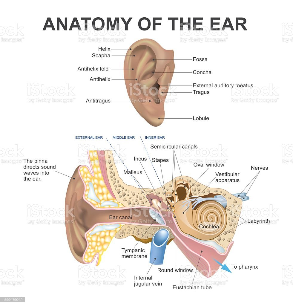 anatomy of the ear vector art illustration